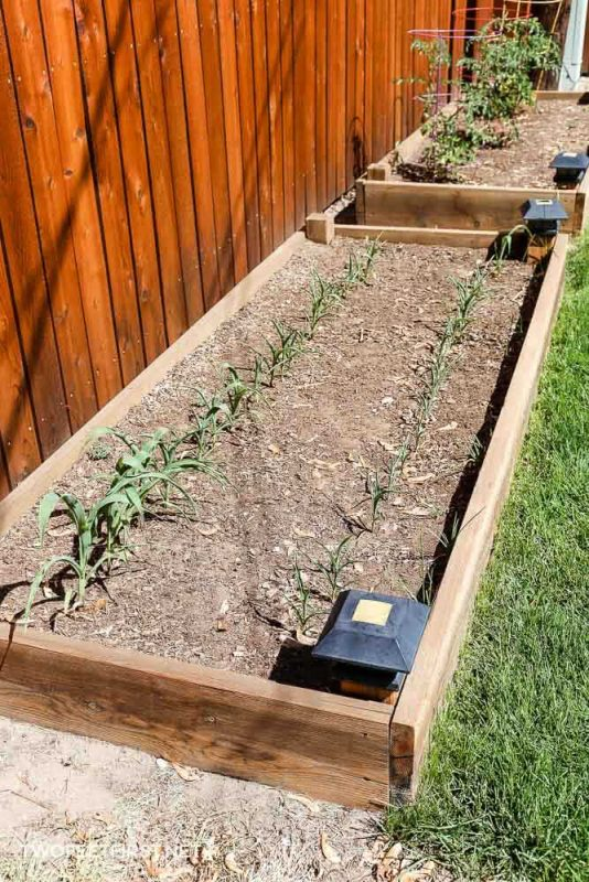 raised garden bed with corn planted